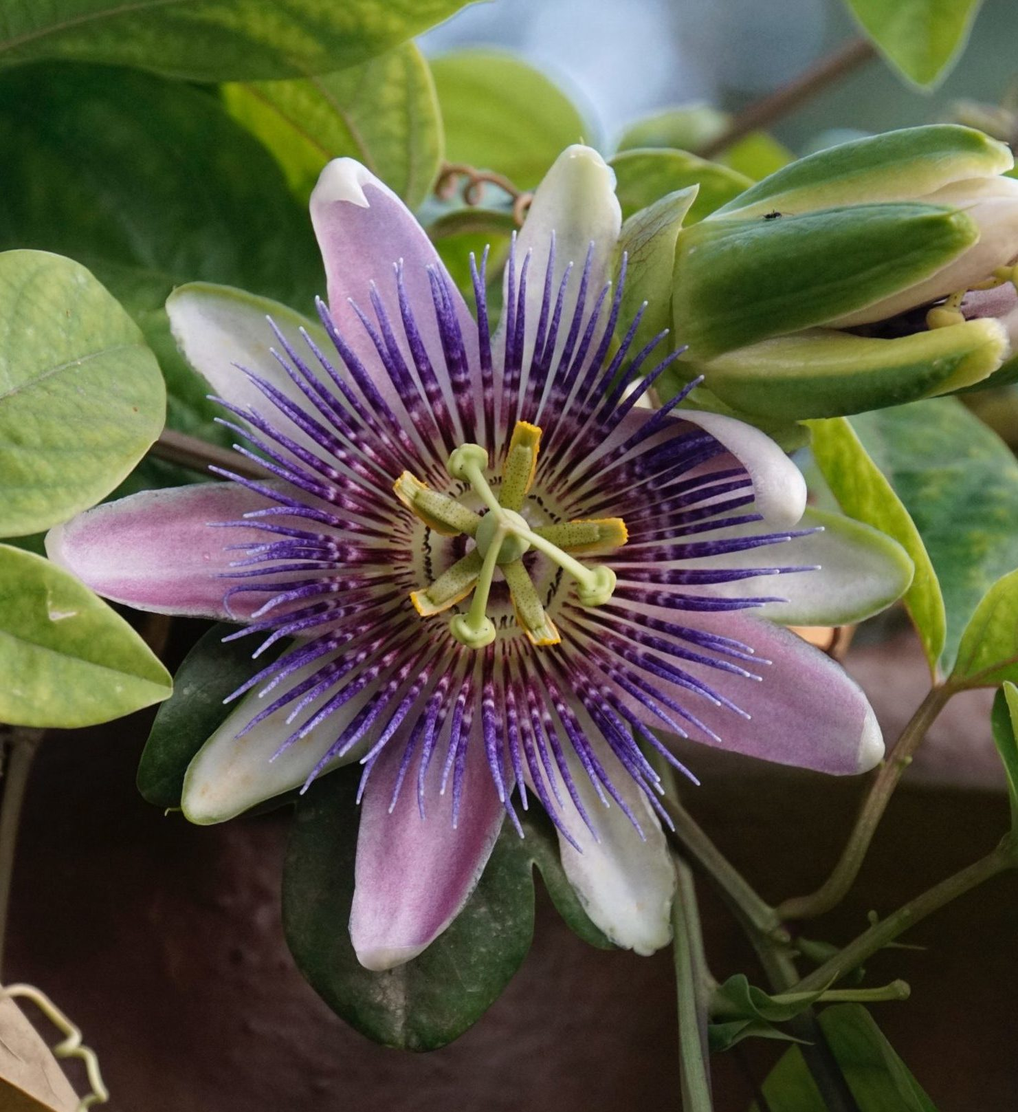 passion flower, an anxiolytic as powerful as benzodiazapines
